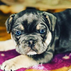 Puppy French Bulldogs Kijiji In Alberta Buy Sell Save With