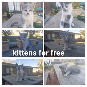Kittens For Free Numurkah Moira Area Preview