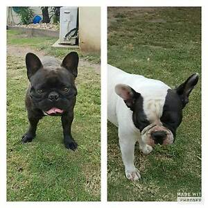 Pedigree French Bulldog pups Woody Point Redcliffe Area Preview