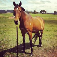 Give Away 12yo Bay TB Project Mare Riverside West Tamar Preview