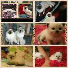 Purebreed ragdoll kittens Shanes Park Blacktown Area Preview