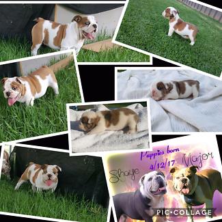Aussie bulldog puppy