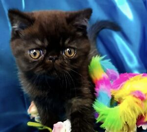 Adorable Male Exotic Kitten