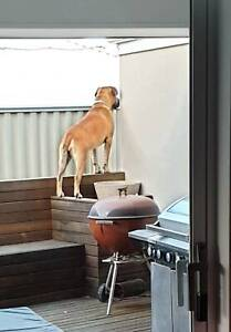 Dogs To Good Home In Perth Region Wa Dogs Puppies Gumtree Australia Free Local Classifieds
