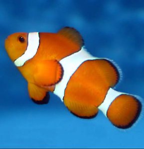 Clownfish for Sale Quakers Hill Blacktown Area Preview