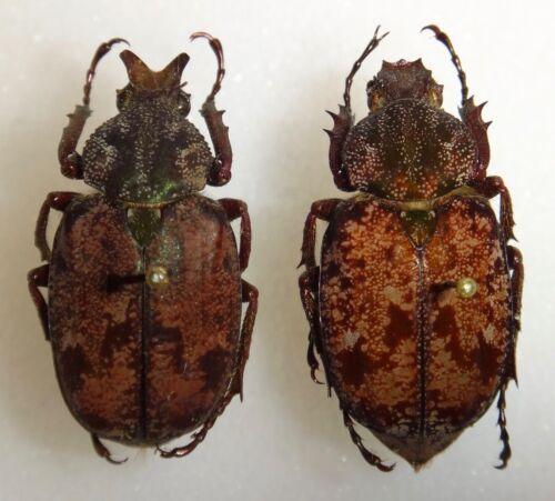 TOP RARITY Scarabaeidae Inca irrorata Pair Brazil #E3 Beetle Insect Coleoptera