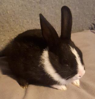 Dutch Baby Bunny