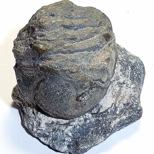 Fossil-Trilobyte-arthropods collectable,FOS-A39, 526 million y.o,43x40x35mm