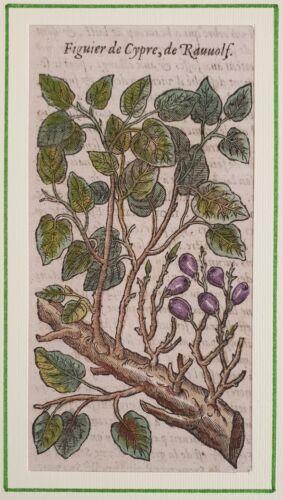 DALECHAMPS FICO FIGUIER DE CYPRE RAVVOLF FIG TREE  BOTANICA 1630 FRUTTA CUCINA