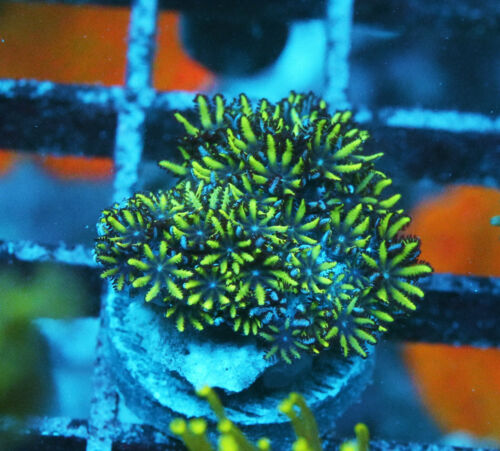Blue & Green Sympodium Coral Zoanthids SPS LPS Soft Corals, WYSIWYG