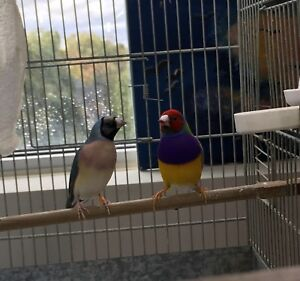 2 pair of gouldian finches for sale
