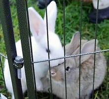 Lop Flemish X Giant Flemish Large Medium Breed Bunny Rabbit Baby Cheltenham Kingston Area Preview