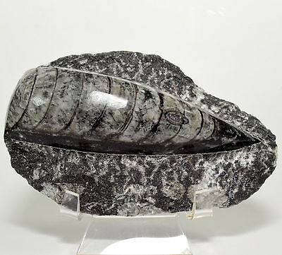 "4.9"" Orthoceras on Rock Single Fossil Dinosaur Squid Cephalopod Mineral Morocco"