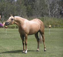 Quality Palomino Broodmare Hatton Vale Lockyer Valley Preview