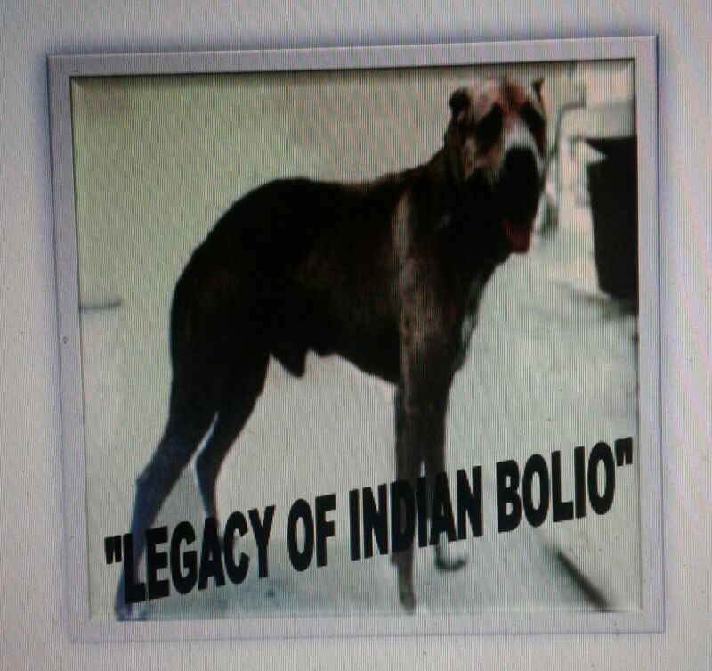 Legacy Of Indian Bolio Pit Bull Book