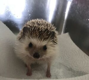 1.5 year old male hedgehog