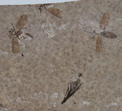 Multiple Flying Insect Fossils and Bird Feather Green River Formation Wyoming