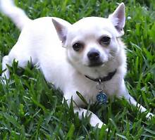 Chihuahuas Pure Bred Registered 12 months old Murrumba Downs Pine Rivers Area Preview