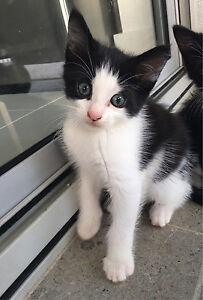 Black and white Ragdoll Kitten Belmore Canterbury Area Preview