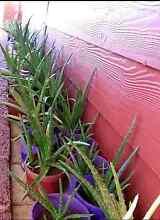 Aloe vera plants Rockingham Rockingham Area Preview