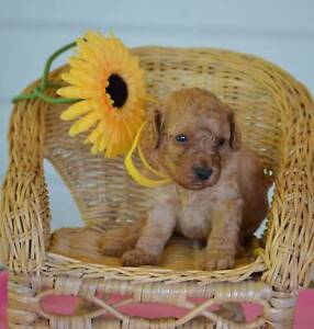 Toy Poodle Puppies DNA Tested