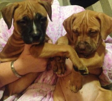 Red nose American staffys 1 LEFT  Box Hill The Hills District Preview