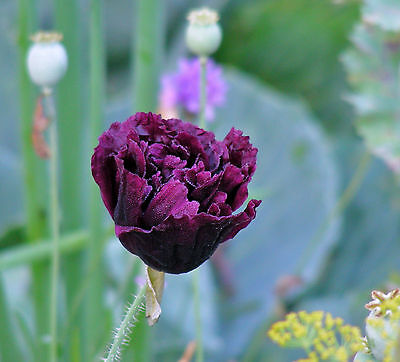 Purple Pepperbox or Bread-seed Poppy Seeds : Mixed Colours & Forms (Poppy Seed Bread Mix)