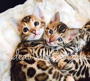 Bengal cat for sale in ottawa