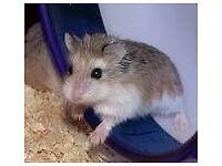 Baby hamster romanowski