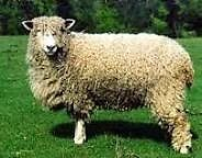 Cotswold Ram