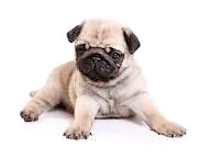 Looking for a pug