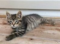 Grey and Black Tiger Stripe Kittens for Sale