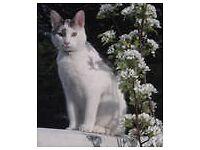 MISSING - WHITE CAT!