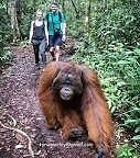 Orangutan trip in central Borneo Long Jetty Wyong Area Preview