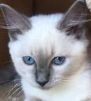 Purebred Ragdoll Kittens Llandilo Penrith Area Preview
