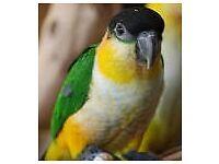 Blackheaded caique parrot adult male