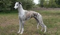 Wanted whippet breed dog