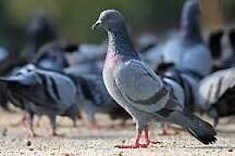 Pigeons Free Manly Brisbane South East Preview