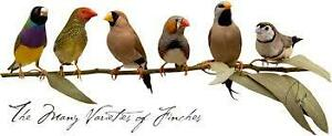 exotic finches