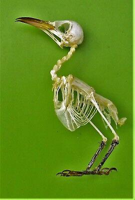 Plain Prinia Warbler Prinia inornata Skeleton FAST FROM USA