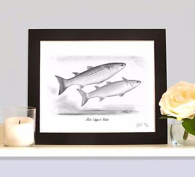 THICK LIPPED MULLET Sea Fishing Fish Art Print Picture MOUNTED