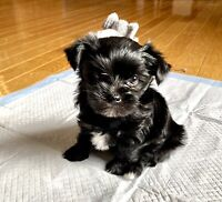 Adorable Male Morkies (one left)