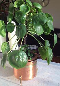 Ufopflanze Pilea Peperomioides Terrarium Geldbaum Bauchnabelpflanze Moneytree