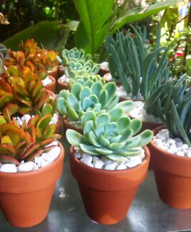 Weddings/party favours succulent  gifts, ALL $ 4 EA Bidwill Blacktown Area Preview