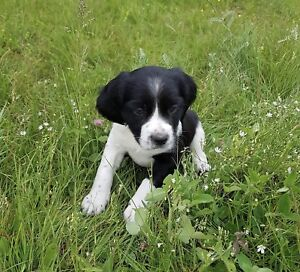 Epagneul Breton - Brittany Spaniel - ONLY TWO LEFT
