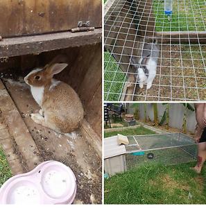Male and female Flemish rabbits and cage Wangaratta Wangaratta Area Preview