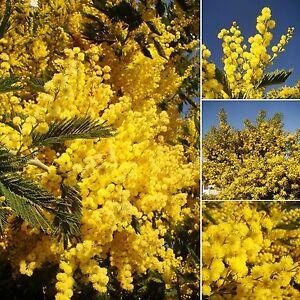 Silver Wattle, Yellow Mimosa, ACACIA DEALBATA, flowering tree, silvery foliage