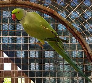 Found Green Indian Ringneck Coes Creek Maroochydore Area Preview