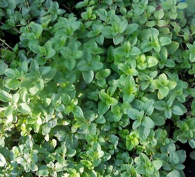 OREGANO 100 Seeds Origanum vulgare PIZZA ITALIAN CULINARY dry HERB repels insect