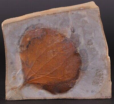 Fossil Plant Leaf Fascinating Zizyphoides flabellum Paleocene Glendive Montana